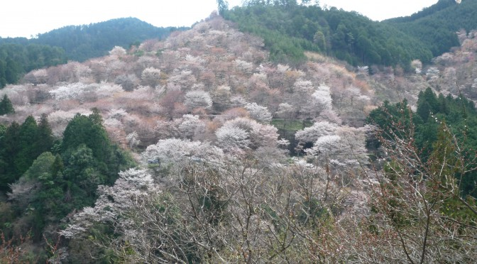 吉野山中千本桜